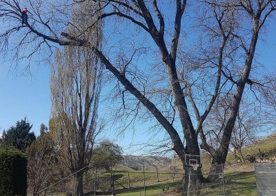 Royaltree-Arborists-Queenstown-Pruning2