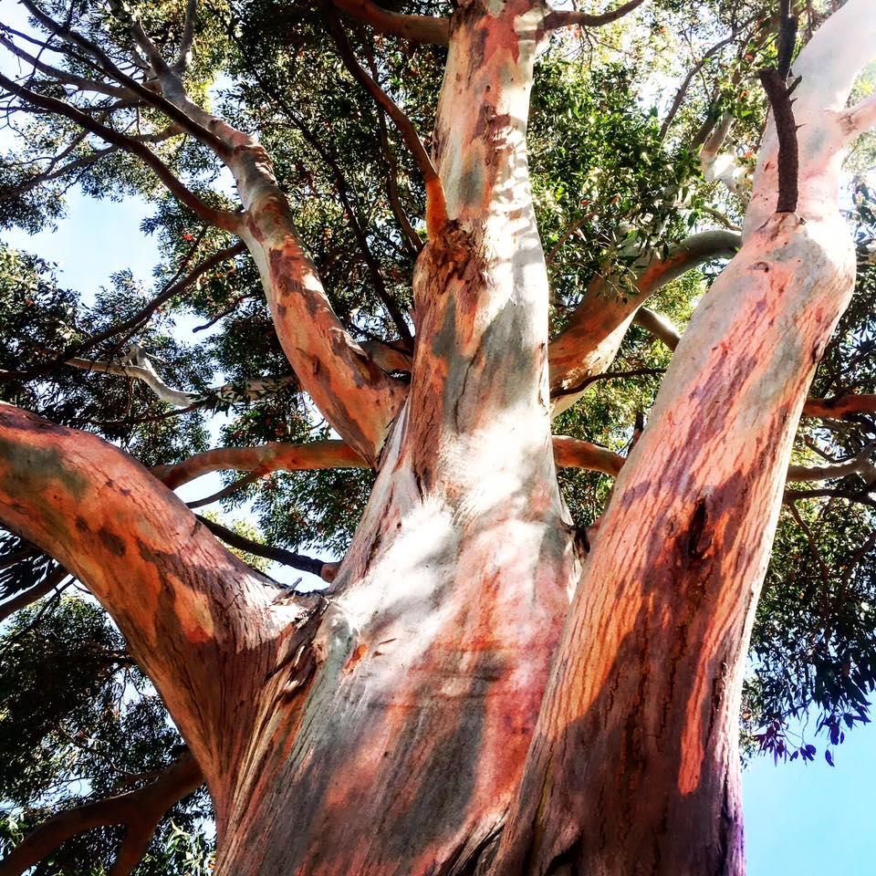 red tree - RoyalTree
