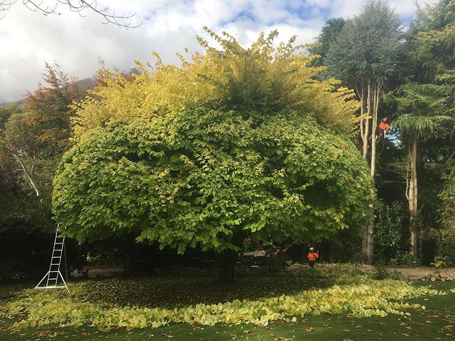 Tree pruning, the before shot - Queenstown Arborist RoyalTree