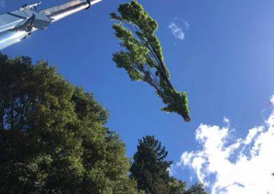 RoyalTree-Ltd -tree-felling-1
