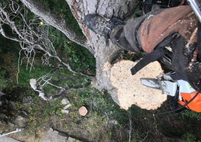 RoyalTree-Ltd -tree-felling-10