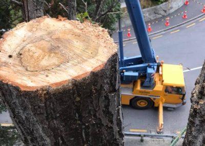 RoyalTree-Ltd -tree-felling-11