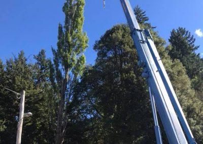 RoyalTree-Ltd -tree-felling-2