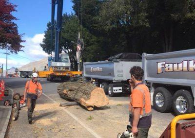 RoyalTree-Ltd -tree-felling-6
