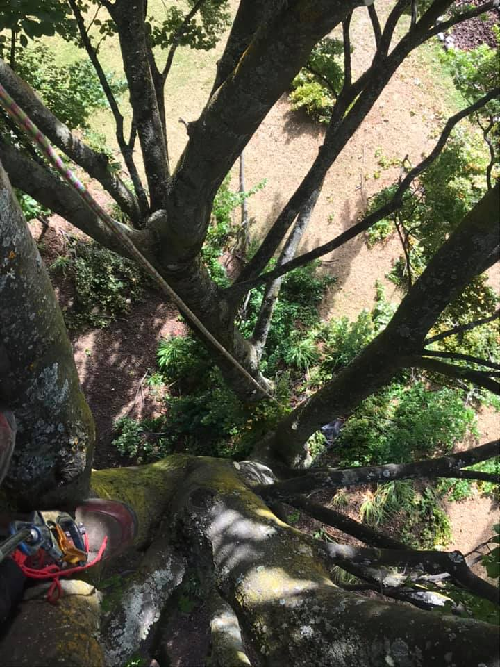 working with a safety line in beech trees - Queenstown Arborist RoyalTree