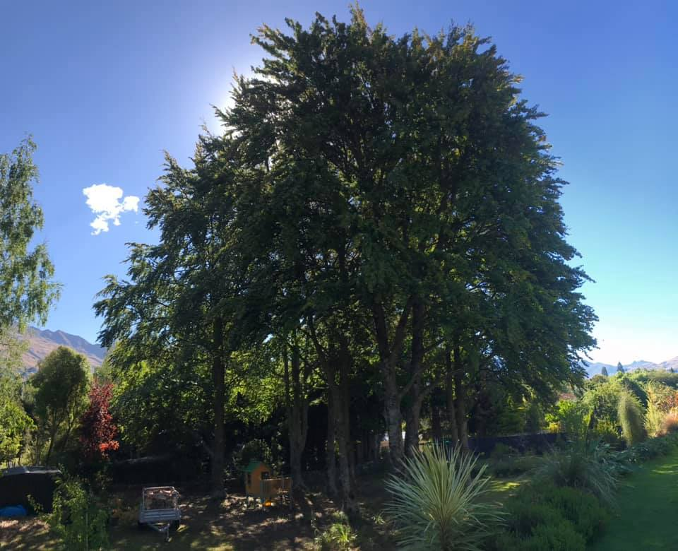 Beautiful beech trees - Queenstown Arborist RoyalTree